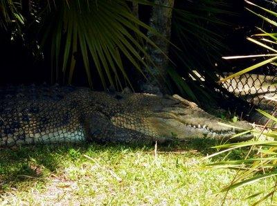 croc_Snapper1.jpg
