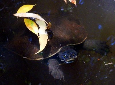 fresh_water_turtle.jpg
