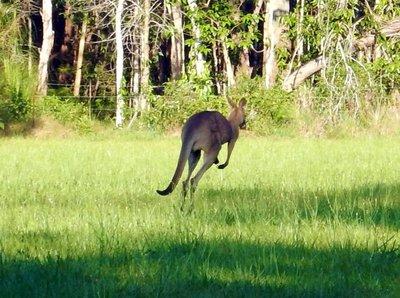 kangaroo1.jpg