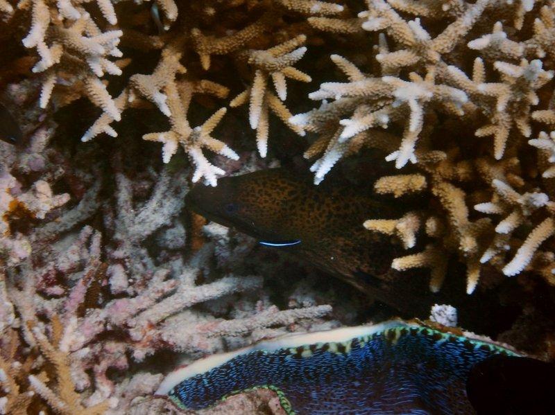 morray eel