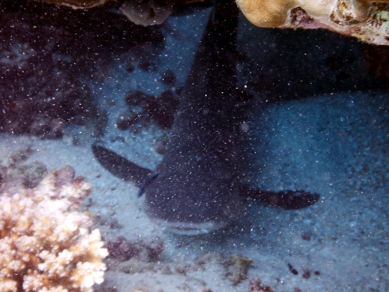 white tip reef shark2