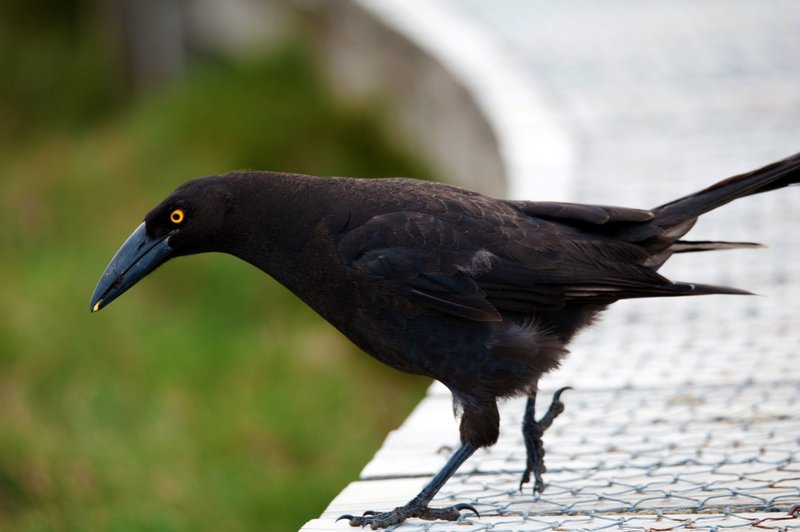 large_Currawong1.jpg