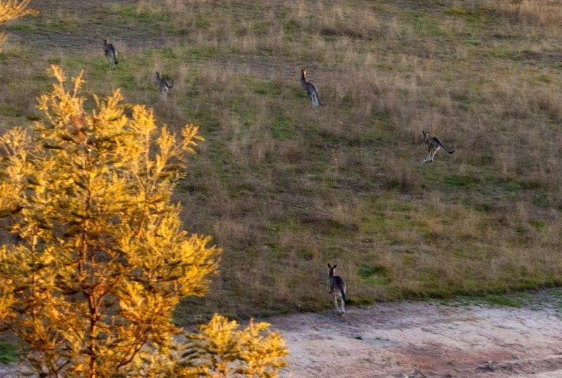 Kangeroos1