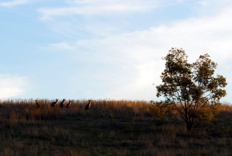 Kangeroos in field