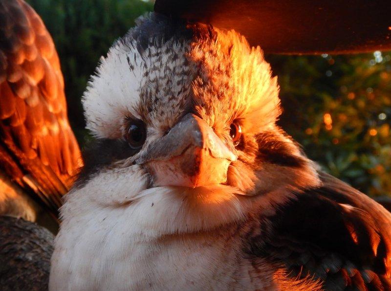 Kookaburra5