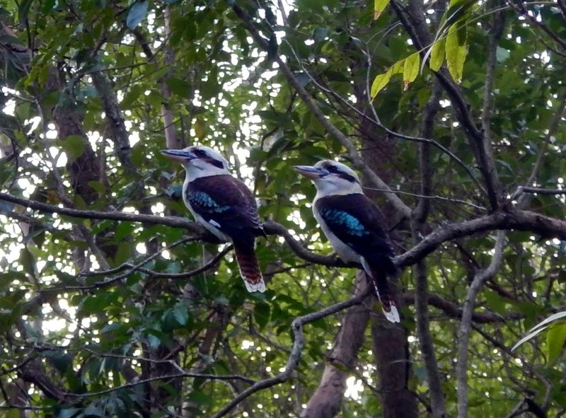 Kookaburras1