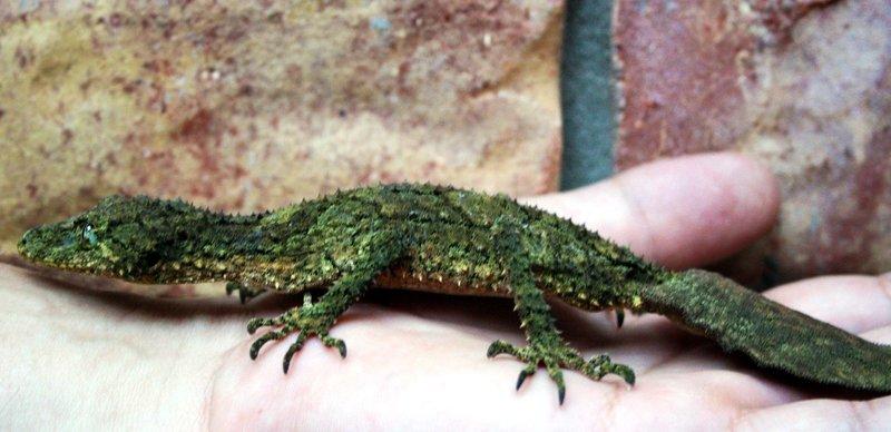 Leaf-tailed Gecko7
