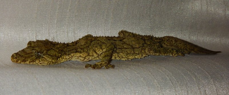 Leaf-tailed gecko3