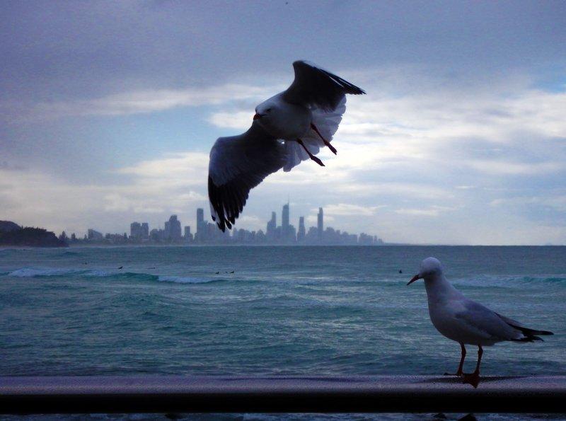Seagulls Surfers Paradise1
