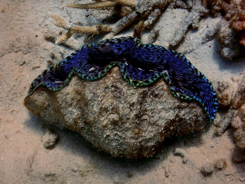 giant clam2
