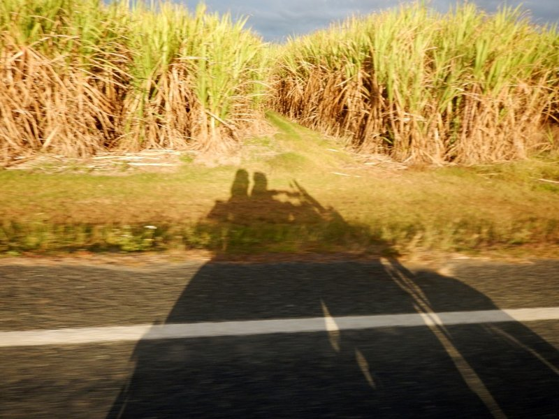 sugar cane shadow