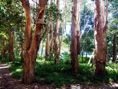 paperbark trees