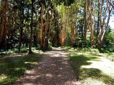 paperbark trees1