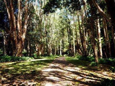 paperbark trees2