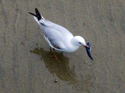 seagul1