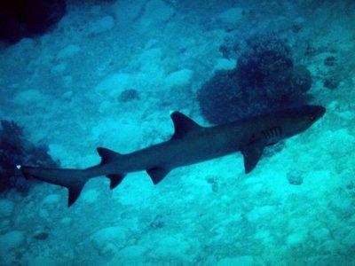 white_tip_reef_shark.jpg
