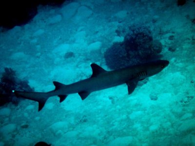 white_tip_reef_shark3.jpg