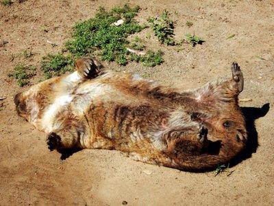 wombat_sunbathing.jpg