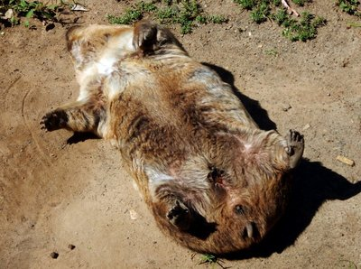 wombat sunbathing1