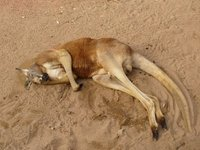 kangaroo chilling out