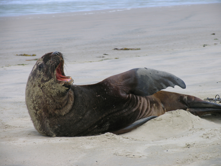 NZ - Sealion yawn