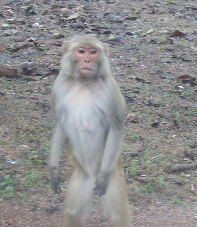 large_monkey-tiger.jpg