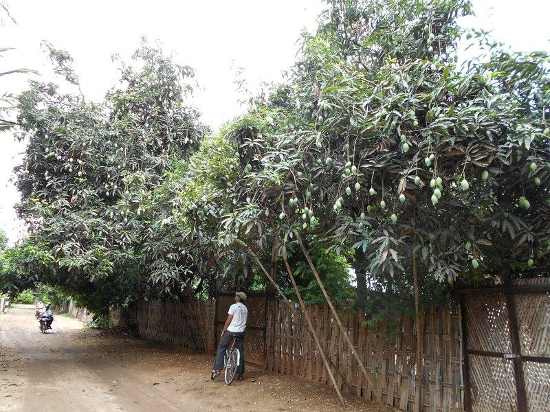 Mango trees everywhere