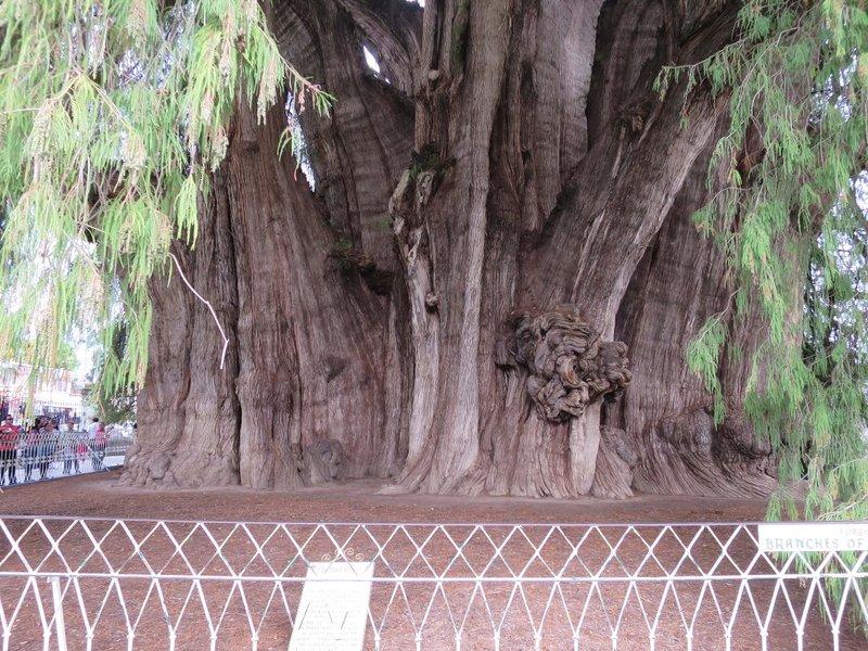 large_Tule_tree.jpg