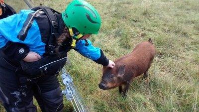 Pigs in Glen Etive