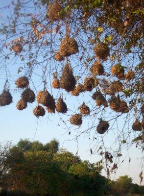 weaver nests