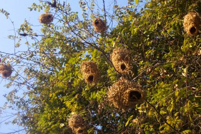 weaver nests