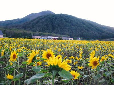 Lake Toya-ko - Sunflowers