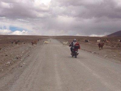 Llamas crossing the road