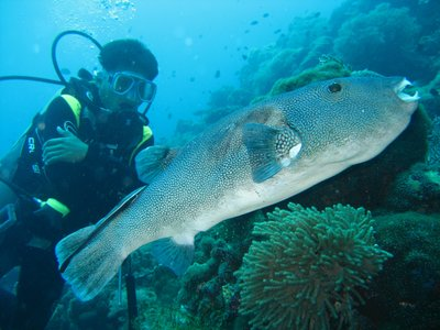 Giant Puffer