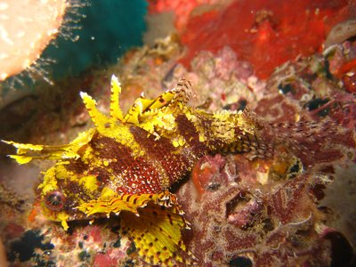 Yellow Scorpion Fish???