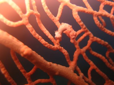 Pygmee sea horse