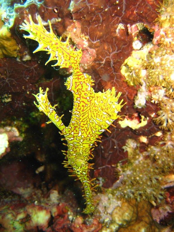 Yellow Harlequin Ghost Pipe Fish