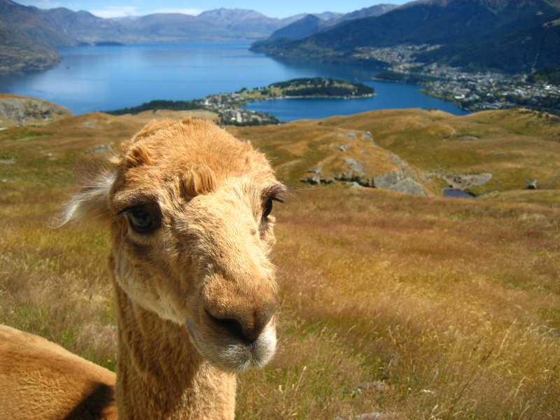 Lama enjoying the Queenstown view