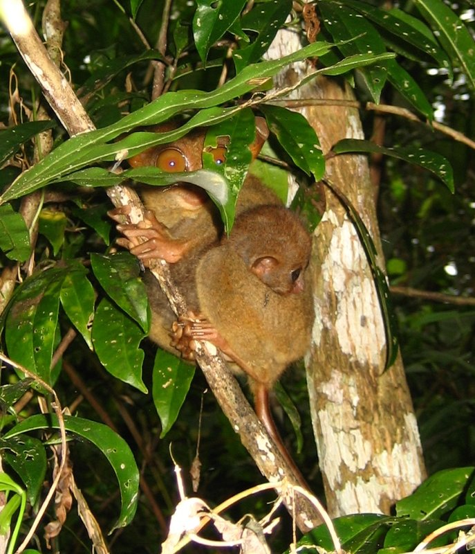 Tarsier with Baby Bohol