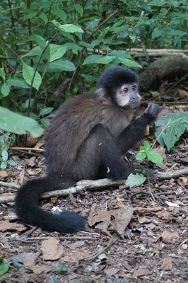 Monkey eating biscuits