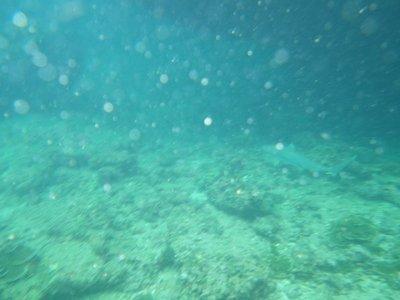 Black reef tip shark