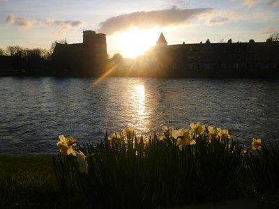 Daffodils of inverness