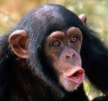 Gorilla_and_chimps_safaris
