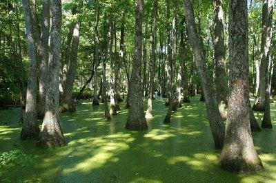Cypres Swamp
