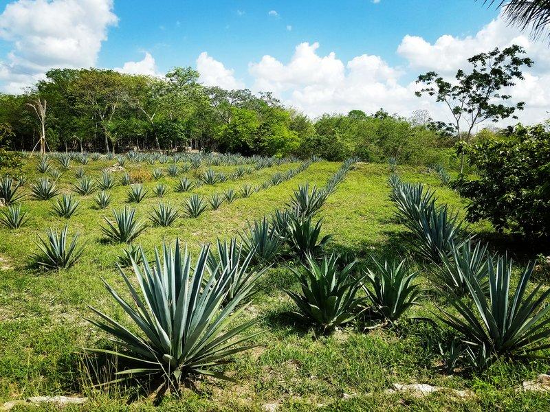 Agave Plantation