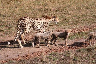 cheatah with cubs