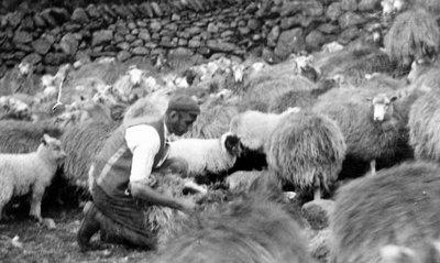 Shepherd 3