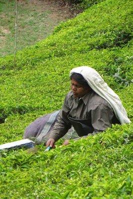 Ouvrière dans les champs de thé Munnar