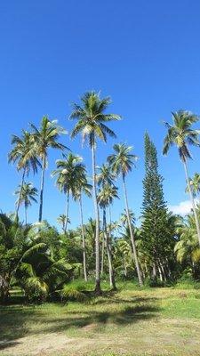 Ile des pins