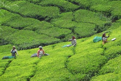 Ouvrières dans les champs de thé Munnar